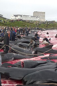 matanza-de-ballenas